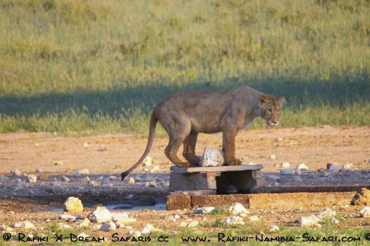 Löwe im Kgalagadi Transfrontier Park