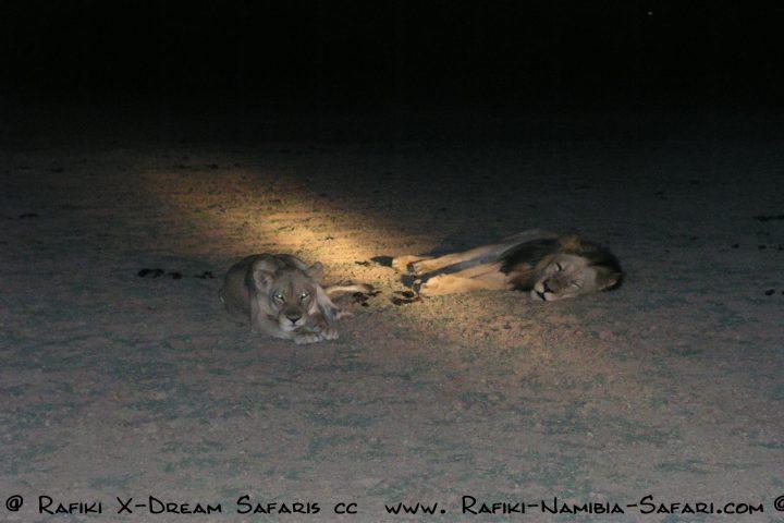 Löwen beim Nightdrive im South Luangwa Park - Sambia
