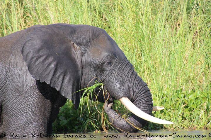 Elefant auf dem Liwonde