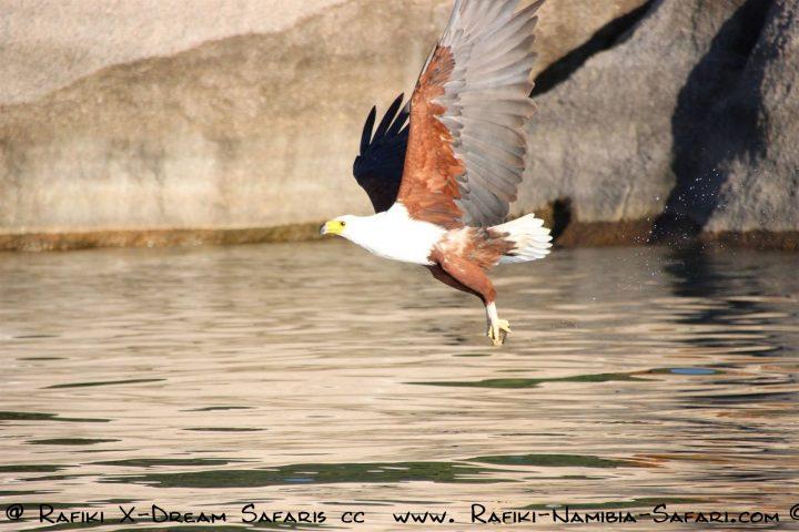 Fischadler am Malawisee