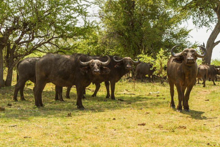 Büffelherde im Buffalo Nationalpark - Namibia