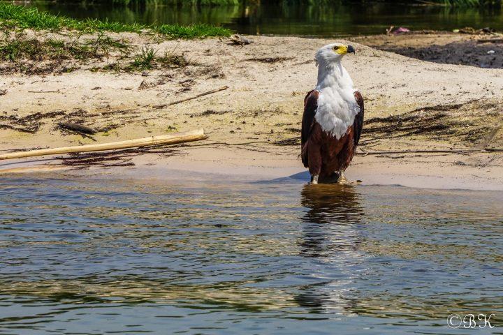 Fischadler im Okavango Delta - Botswana