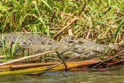 Krokodil im Okavango Delta -Botswana