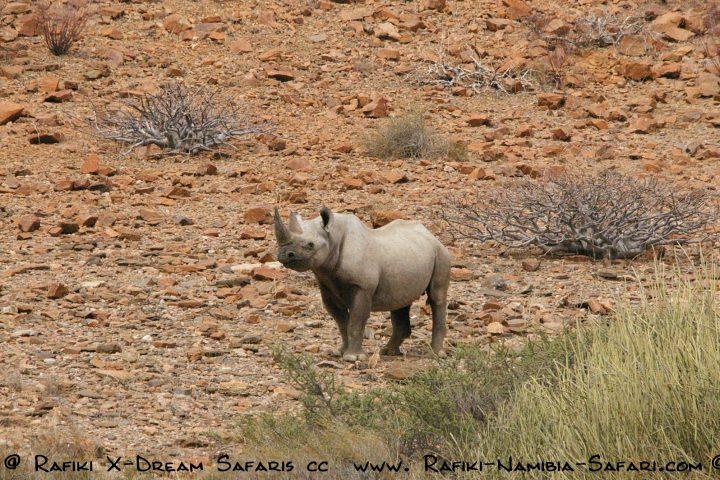 Rhino im Kaokoveld