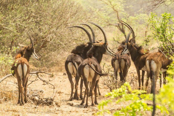 Säbelantilopen - Mahango Nationalpark