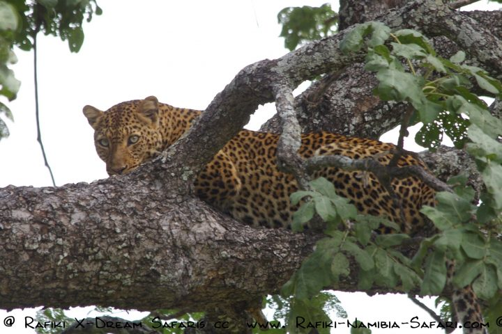Leopard im South Luangwa Nationalpark - Sambia