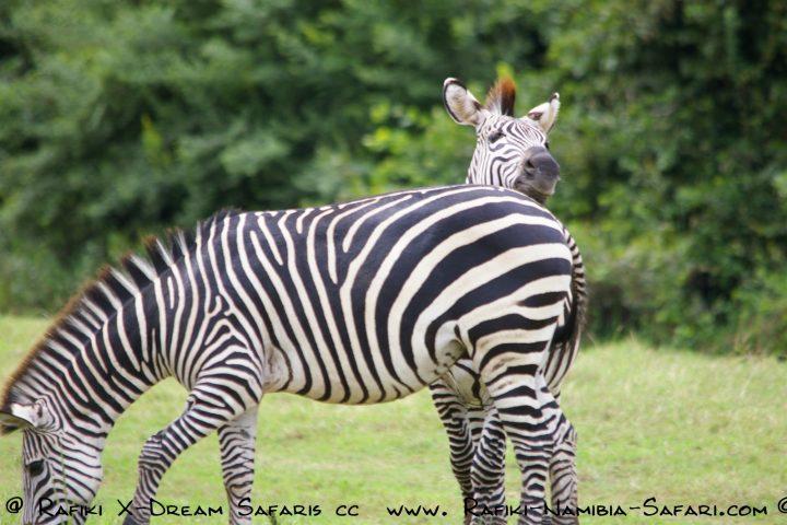 Zebras im South Luangwa Park - Sambia
