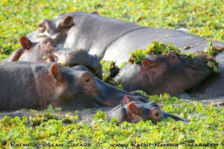 Hippos im South Luangwa Park - Sambia