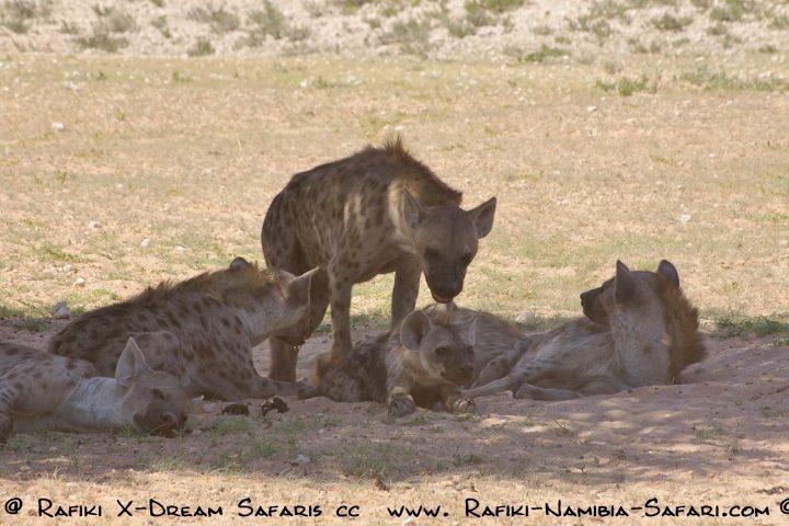 Tüpfelhyänen - Kgalagadi Transfrontier Park - Südafrika