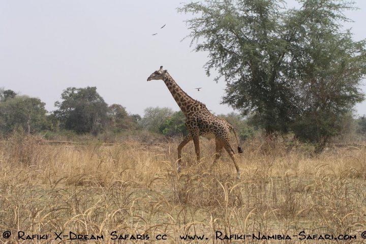 endemische Thornicroft Giraffe im South Luangwa Park - Sambia