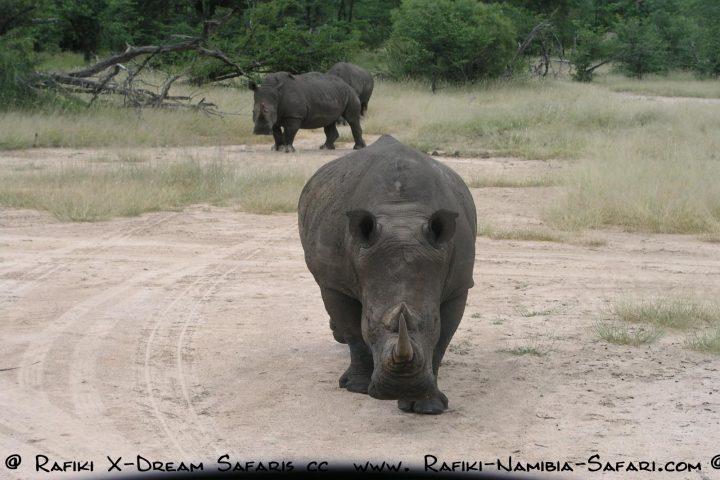 neugieriges Rhino - Sambia