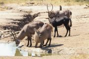 Majete Park - Antilopen an der Wasserstelle
