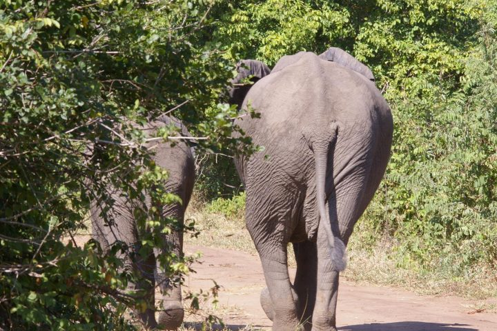 Majete Park Elefanten