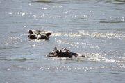 Majete Park Hippos im Shire River