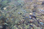 bunte Fische im Malawisee